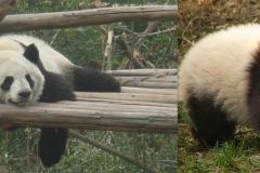 165. Panda